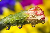 Water Drops On A Budding Flower