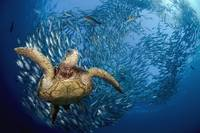 Indonesia, Bali, A Green Sea Turtle  Glides Below