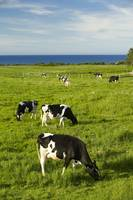 Grazing Cows, Cavendish, Prince Edward Island, Can