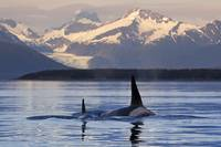 Two Killer whales surface in Lynn Canal at sunset