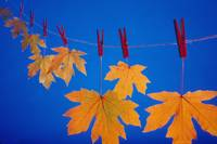 Close-Up Of Fall Colored Maple Leaves On Clothesli