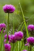 Dew Covered Spider Web on Chive Flowers Kodiak Is