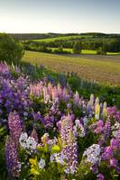 Lupins And Phlox Flowers, Clinton, Prince Edward I