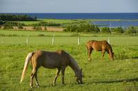 Horses Grazing, Seaview, Prince Edward Island, Can