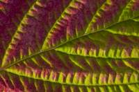 Macro view of Salmonberry leaf changing colors in