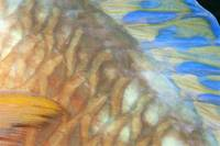 Fiji, Close-Up Detail Of Female Parrotfish, Fin An