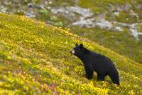 A black bear foraging for berries on a hillside ne