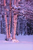 Pink Sunset light falling on Birch trees at Russia