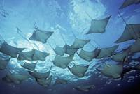 Galapagos Islands, School Of Cownose Rays