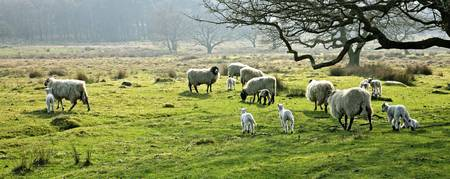 Sheep Grazing In A Pasture, Derbyshire, England