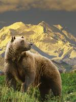 COMPOSITE Grizzly stands on tundra with Mt. Mckinl