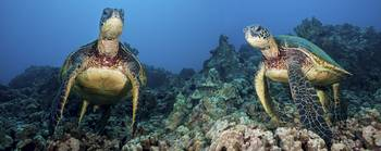 Hawaii, Green Sea Turtles