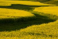 Canola Field, Darlington, Prince Edward Island, Ca