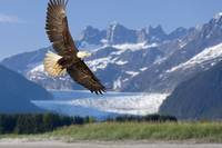 Bald Eagle in flight with Mendenhall Glacier in ba