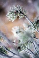 Frost On Pine Tree Branches