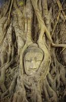 Thailand, Ayuthayai, Stone Buddha Head With Tree R