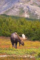 A bull moose in rut standing in a wooded area near