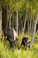 Cow and calf moose feeding along the Tony Knowles