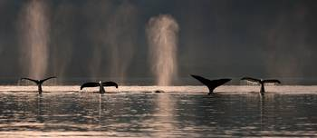 A group of Humpback Whales dive down as they are f