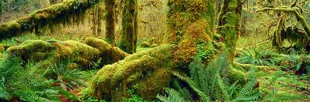 Hoh Temperate Rain Forest, Olympic National Park,