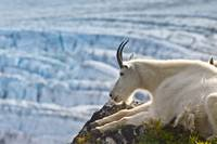 A female Mountain Goat lying on a hillside with Ex