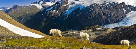 Three mountain goats near Exit Glacier's Harding