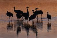 Silhouette of Sandhill Cranes wading in a pond at