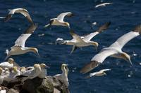 Northern Gannets, Newfoundland And Labrador, Canad