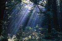 Sun Beams Through Fog And Forest Trees