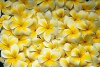 Background Of Yellow And White Plumeria Flowers