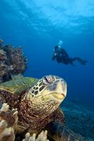 Hawaii, Diver Photographing Green Sea Turtle