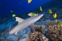 Hawaii, Grey Reef Shark Surrounded By Bright Yello