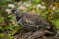 Spruce Grouse, Nova Scotia, Canada