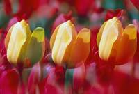 Yellow And Red Tulip Blooms