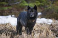Wolf Standing Alert In Grass, Tongass National For