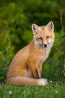 Young Red Fox, Point Prim, Prince Edward Island, C