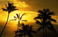 Hawaii, Maui, View Of Palm Tree Tops, Orange Sunse