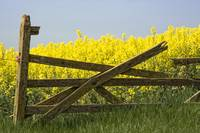 Gate Next To A Canola Field, Yorkshire, England