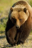 Frontal View Of Grizzly Walking In Meadow, Yukon T