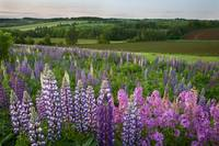 Landscape Of Lupins And Phlox, Clinton, Prince Edw