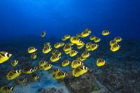 Hawaii, School Of Racoon Butterflyfish