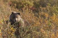 A Brown Bear Forages In The Tatshenshini-Alsek Wil