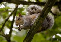 Gray Squirrel On A Tree Branch