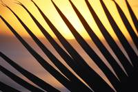 Close-Up Detail Palm Fronds Silhouetted Against Go