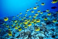 Hawaii, Schooling Raccoon Butterflyfish In Bright