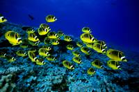 Hawaii, Schooling Raccoon Butterflyfish Over Reef