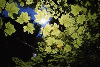 Sunlight Through Maple Leaves