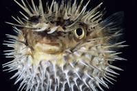 Hawaii, Spiny Puffer
