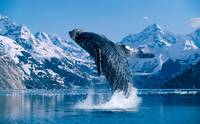 Humpback Whale Breaching Snowcapped Mountains