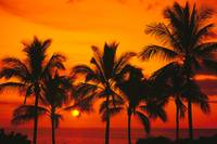 Rows Of Palm Trees Silhouetted By Fiery Orange Sun